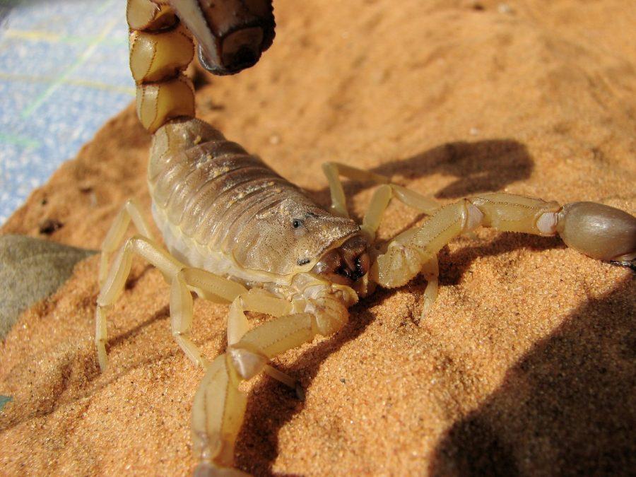 scorpion sting in Guatemala