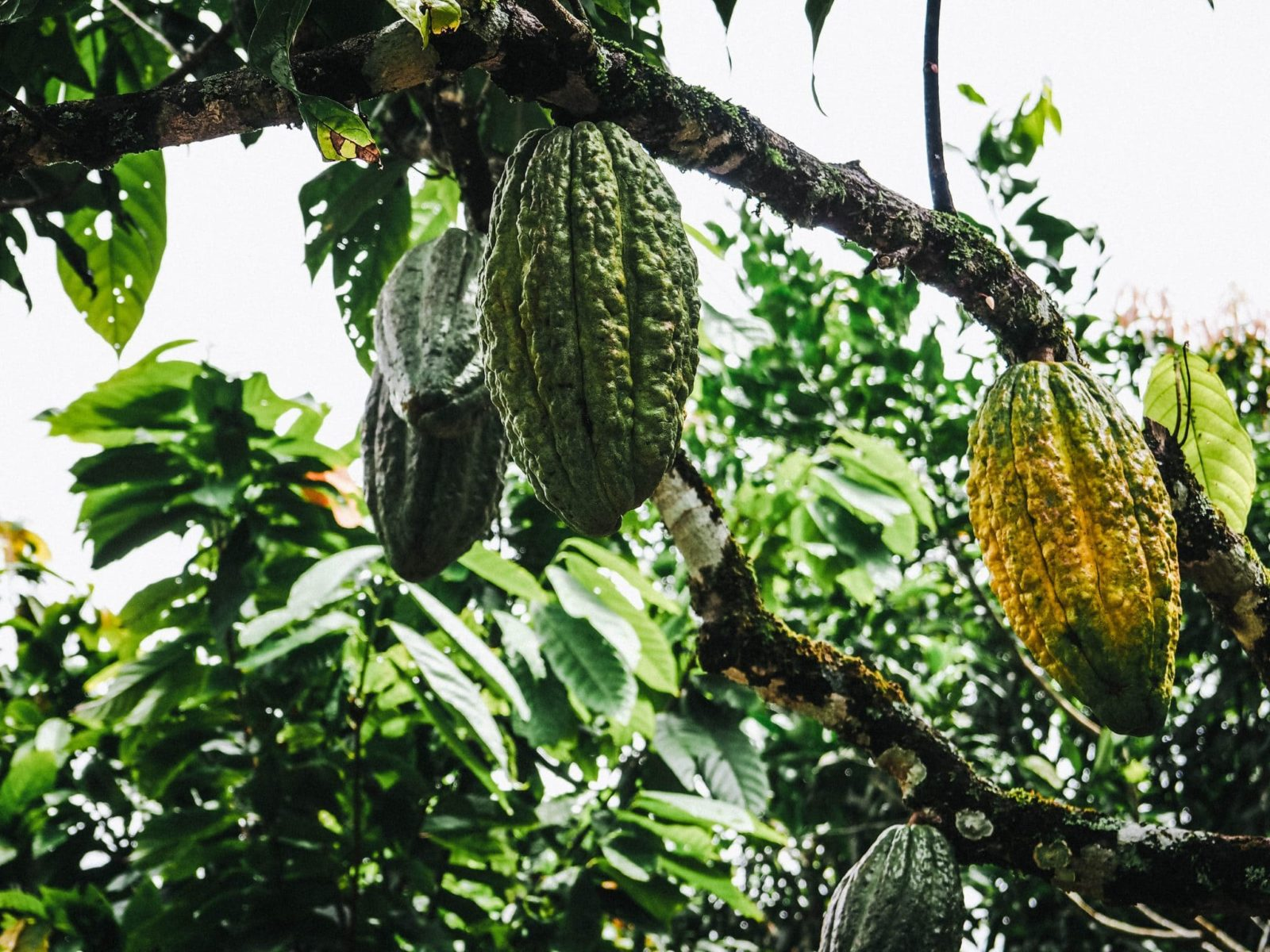 Colombia Adventures | Visiting a Cacao Farm in Colombia