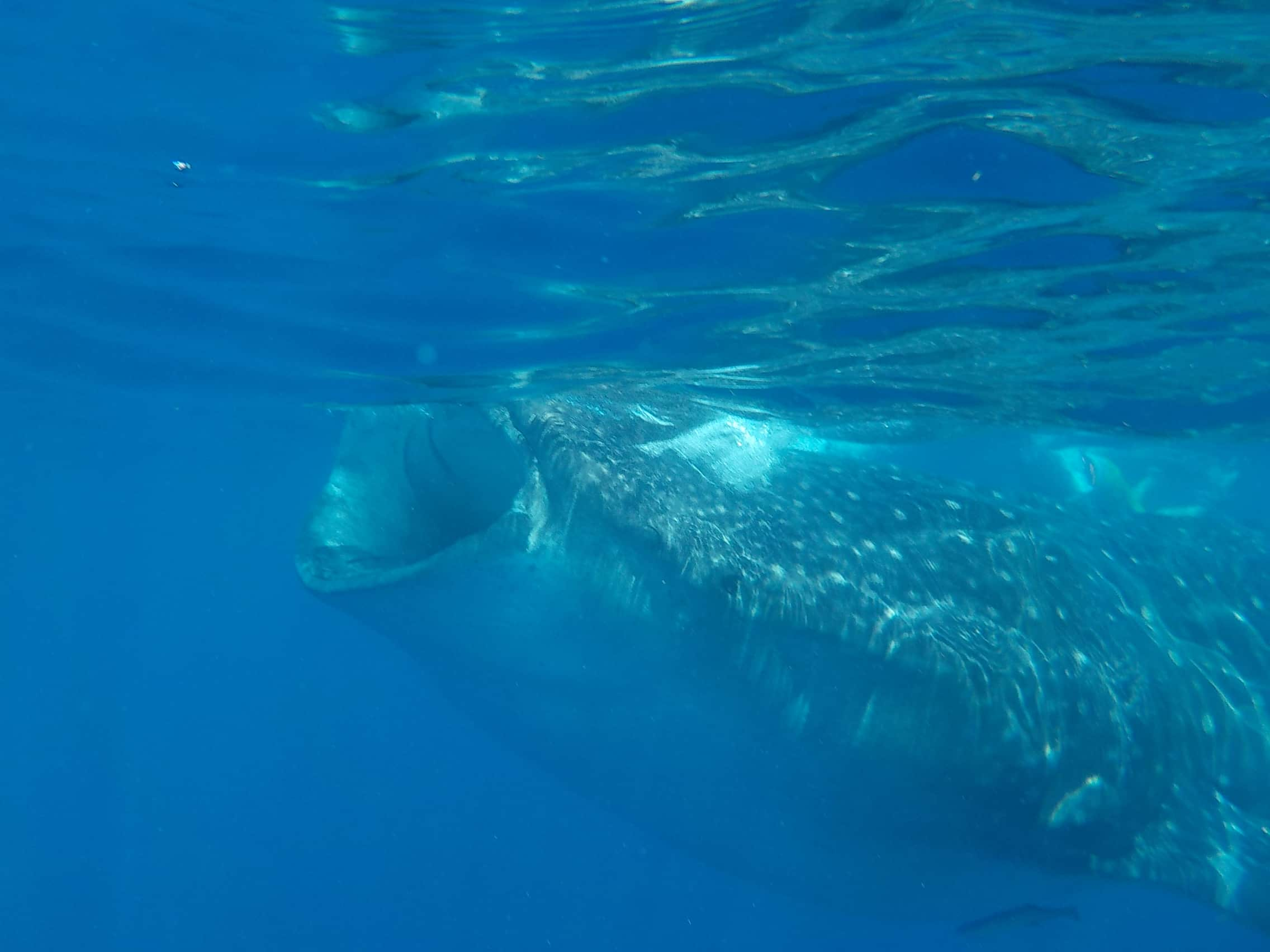 Thinking of swimming with whale sharks in Playa del Carmen, Cancun, or Tulum? Then read this first. This is everything you need to know before booking this once in a lifetime whale shark swimming experience. #whaleSharks #swimwithsharks #swimwithwhalesharks #mexicotravelguides