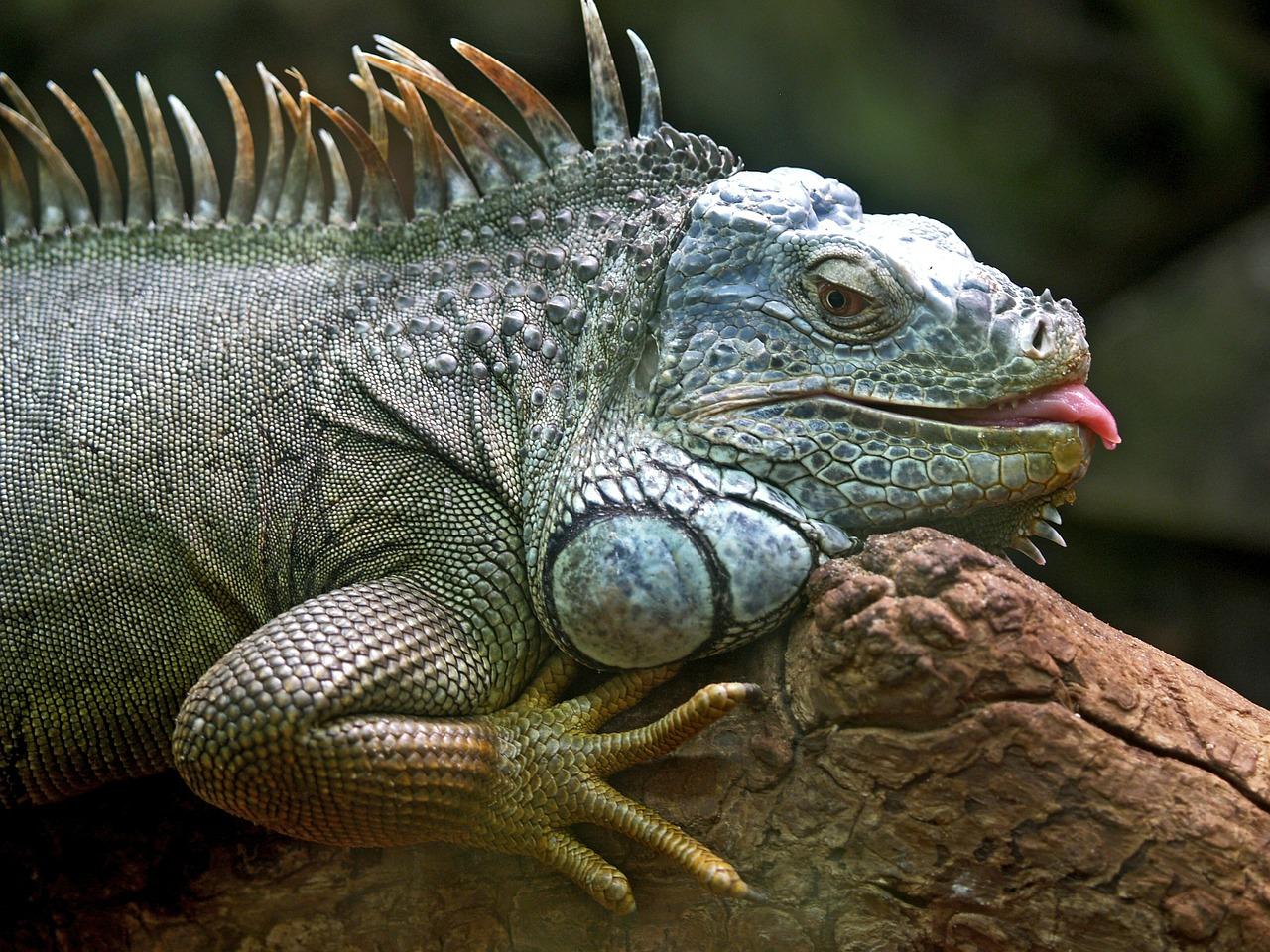 Riviera Maya Excursions jungle iguana