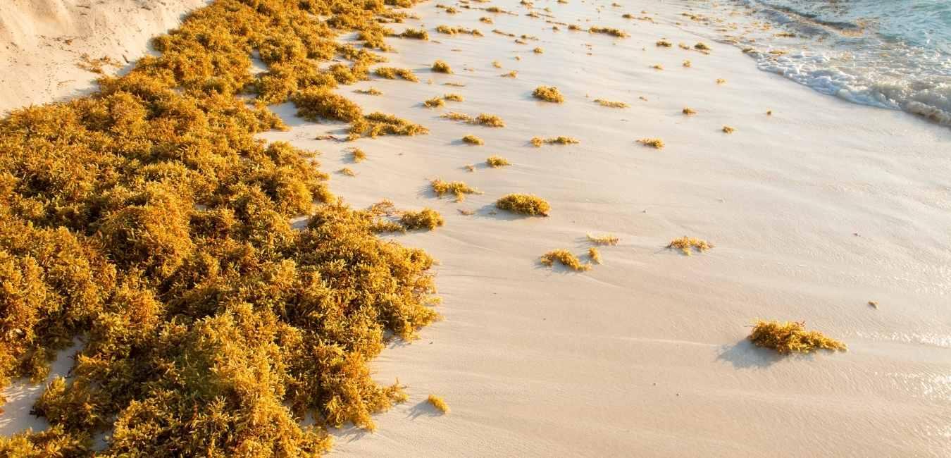 Sargassum in the Riviera Maya
